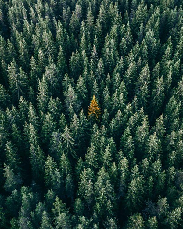 Обои растительность, Пихта бальзамическая, дерево, сосна, пихта в разрешении 3192x3989